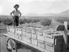 Man standing on the back end of a wagon loaded with the Coldstream Ranch prune plum harvest. Circa Photo courtesy of the Greater Vernon Museum and Archives, Vernon BC Canada. Prune Plum, Vernon Bc, Man Standing, Back In Time, History Facts, British Columbia, Harvest, Ranch, Archive