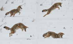 A coyote hunting for voles