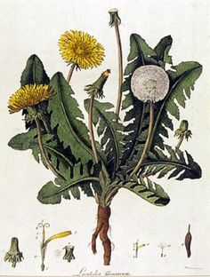 Taraxacum officinale Dandelion William Kilburn (1745-1818)