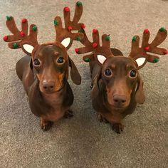 The Effective Pictures We Offer You About Cutest Baby Animals A quality picture can tell you many th Dapple Dachshund, Dachshund Puppies, Weenie Dogs, Dachshund Love, Cute Puppies, Cute Dogs, Cute Babies, Daschund, Doggies