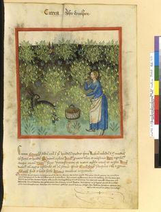Tacuinum Sanitatis - BNF Ms. Latin 9333 Date: Rhineland, mid- 15th century.  fol 47r süße Erbsen
