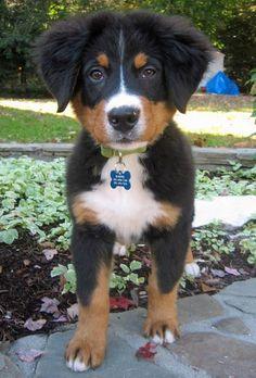 Harper the Bernese Mountain Dog