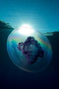 Jellyfish – Red Sea