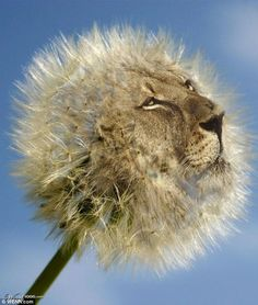 7/11-dandy-lion haha!
