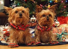 Yorkie Holiday Dogs #Christmas Puppies
