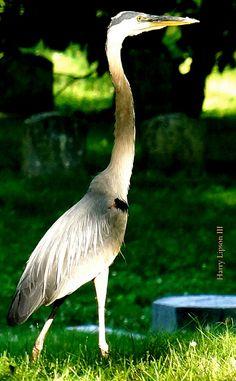 Great Grey Heron photo taken by Harry Lipson 3 @ HarryShots.com