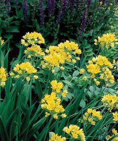 Allium moly 'Jeannine', 'Jeannine' golden onion