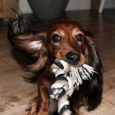 Playfull dox (dachshund)