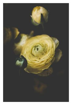 """Shop our original botanical photographs that make for unique wall art to compliment your home or office decor. They also make for a one-of-a-kind gift. You can find """"Ranunculus"""" (along with many other flowers) in our Etsy Shop currently offered in the following sizes: 5x7, 8x10, and 11x14."""