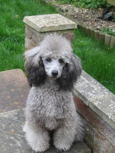 silver poodle | Jencro Standard & Silver Miniature Poodles