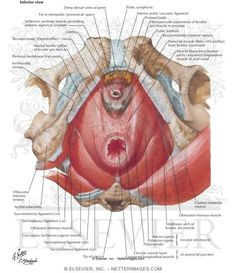 Muscles Of The Pelvic Floor Diaphragm Levator Ani