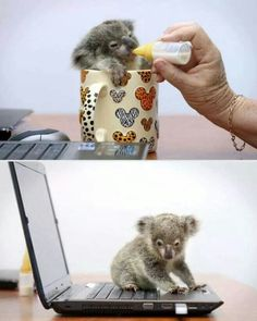 One day, when this world is restored, my laptop will be used only to hold a baby koala.