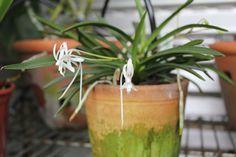 orquídea-do-samurai