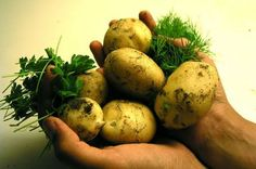 The Benefits of Growing Potatoes in Containers. Learn what they are here http://www.vegetablegardener.com/item/4400/the-benefits-of-growing-potatoes-in-containers