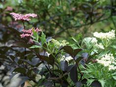 Sambucus nigra, one green cultivar with white flowers, one red with pink flowers. July 9th 2010