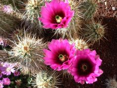 Echinocereus engelmannii var. chrysocentrus - If you like cactus fruits, this is one of the best. It will grow outdoors, hardy zones 6-5.