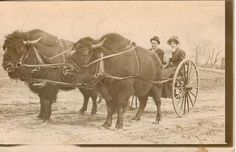 Bison-drawn carriage in Sioux Falls, South Dakota 1900 : OldSchoolCool