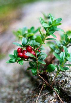 Lingonberry Recipes