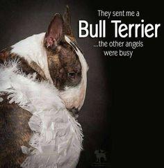 #Bullterrier Angel