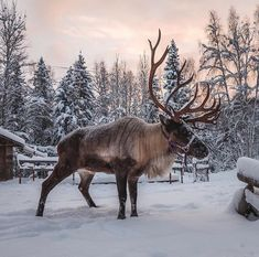 A winter wonderland and grazing ground for Santa's companions. The @RunningReindeer Ranch in  Fairbanks is where visitors can learn about reindeer any time of the year... Photo By  @Luiscon3  #ilovealaskafans #alaskalife #alaska #reindeer #fairbanks #antlers #animals #animalplanet #herdanimals #winter #winterwonderland