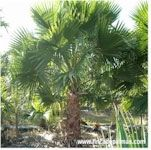 Las palmas en la jardineria de PR