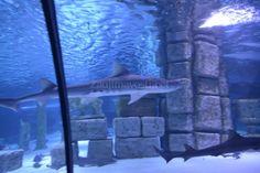 Máte doma akvárium? Takéto veľké možno nie. Viac ako 5 miliónov litrov vody, stovky metrov štvorcových tvrdého skla a 131 metrov dlhý tunel, v ktorom objavujete ríšu podmorského sveta a žralokov plávajúcich reálne okolo vás a nad hlavami. Prečítajte si viac o tomto mieste, ktoré sme navštívili v jeseni 2014. Viac na: http://zaujimavosti.net/cestovanie-travel/aquarium-antalya-podmorske-akvarium-najdlhsi-podvodny-tunel/