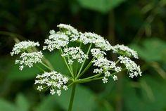 grande_cigue_fleurs