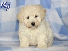 Keystone Puppies has a puppy finder feature setting you up to find and buy a dog perfect for your home. Use our petfinder today! Poodle Mix Puppies, Puppy Finder, Buy A Dog, Poodles, Puppies For Sale, Oakley, Pets, Board, Animals