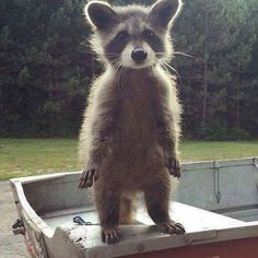 A cute young Raccoon.