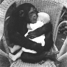 chimp cradling a human baby. Adorable as this picture is, I can't help but think of the woman whose face & hands were ripped off by a chimp attack. Maybe not so adorable. Primates, Cute Baby Animals, Animals And Pets, Funny Animals, Wild Animals, Printable Animals, Human Babies, Tier Fotos, Belle Photo