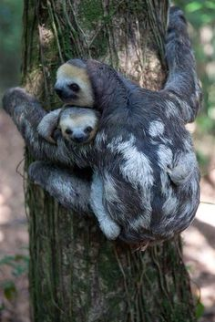 ' Activist brings home 200 rescued sloths In Paramaribo, Suriname, sloths displaced by deforestation are rescued and released back into the wild with the help of Green Heritage Fund Suriname. Cute Sloth Pictures, Animal Pictures, Baby Pictures, Beautiful Creatures, Animals Beautiful, Animals And Pets, Funny Animals, Wild Animals, Pinterest Foto