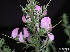 Ononis spinosa - Dorniger Hauhechel