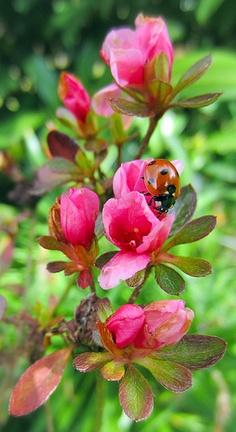 Ladybird on Pink Flowers