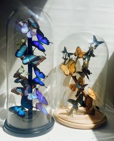 Morpho and Papilio Ulysses butterflies in high bell glass, Papilio Maackii  mounted on grapewood.