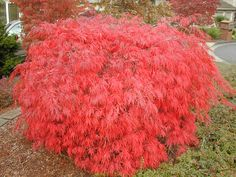 Acer palmatum dissectum: Cascade : Maples for All Seasons Online Store, Nursery and Arborists Specializing in Japanese Maples