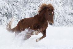 . Cute Horses, Beautiful Horses, Icelandic Horse, Horse Photos, Finland, Training, Sport, Nature, Pictures