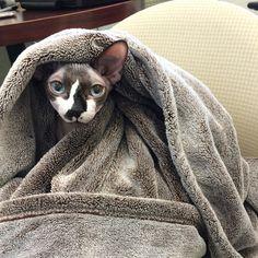 hairless sphynx cat                                                       …