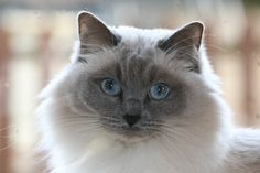 Willow, my blue colour point ragdoll.