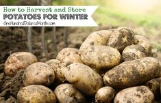 If you're like me, and maybe, just maybe went a little overboard on planting potatoes this year {unless it's the HH reading this, then I standby the fact that I planted the perfect amount, ha!}, then you might be wondering how to store them so that you...