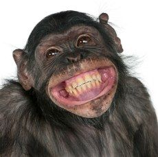 Buy Close-up of Mixed-Breed monkey between Chimpanzee and Bonobo smiling, 8 years old by Lifeonwhite on PhotoDune. Close-up of Mixed-Breed monkey between Chimpanzee and Bonobo smiling, 8 years old Primates, Smiling Animals, Funny Animals, Cute Animals, Animal Pictures, Funny Pictures, Monkey Pictures, Friday Pictures, Humorous Animals