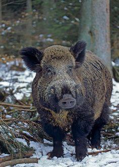 Wild Boar Hog http://riflescopescenter.com/category/barska-riflescope-reviews/