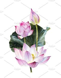 Watercolour lotus with leaves . Watercolor Flowers