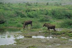 Moose at the Northern Peninsula, August Copyright © Edwin Neeleman Newfoundland Canada, Newfoundland And Labrador, New Brunswick, Beautiful Islands, Beautiful Places, Natural Scenery, Largest Countries, The Kingdom Of God