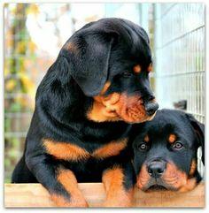 Gorgeous! #Rottweiler puppies