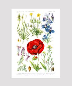 Red Poppy Wild Flower Print no.1 English by GnosisPictureArchive