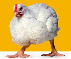 Kana nimeltä Ross 508 | yle.fi