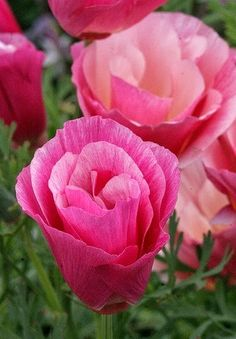 pink california poppy Eschscholzia californica Rose Chiffon -- plant your entire back yard full in a lovely rose-pink and silver-green vision -- add Stipa/Mexican Feather Grass, and you've got a low water installation. How about some Fountain Grass too? Amazing Flowers, My Flower, Colorful Flowers, Pink Flowers, Beautiful Flowers, Pink Poppies, Beautiful Gorgeous, Simply Beautiful, Veggie Gardens