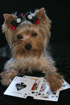 Yorkies, Yorkie Puppy, Chihuahua, Yorshire Terrier, Silky Terrier, Bull Terriers, Yorkshire Terrier Haircut, Yorkshire Terrier Puppies, Cute Puppies