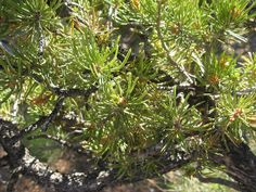 Pinyon Pine by brewbooks, via Flickr