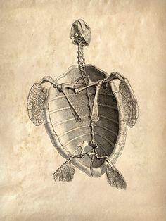 Vintage Animal Anatomy. Sea Turlte Skeleton. Etsy shop curiousprints has many vintage anatomy prints. Great for the home
